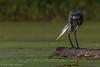Great Blue Heron, Sept 09 2011, Moira River