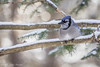 Blue Jay, March 10 2012, Algonquin Park