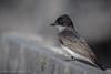 Eastern Kingbird, July 31 2012, Frink Centre