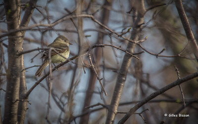 Kingbirds-Pewees-Phoebes