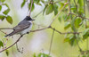 Eastern Kingbird, May 10 2012, Presqu'ile Provincial Park