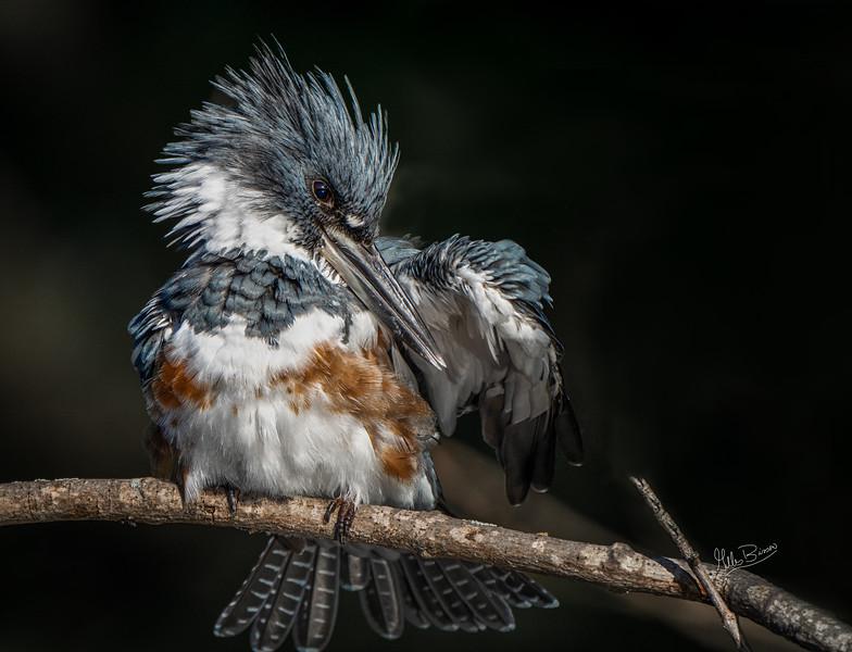 Kingfisher, Moira River, September 9, 2021, Sony AR7IV, 100-400mm, 1.4X, 1/1250, F8.0, ISO 800