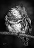 Kingfisher in B&W