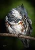 Kingfisher posing