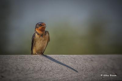 Larks-Swallows