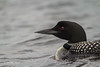 Common Loon, Whitewater lake, Azilda, Ontario, June 20 2013, Canon T3i 1/1600-F5.6-ISO 800, #0488