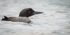 Common Loon, Whitewater lake, Azilda, Ontario, June 20 2013, Canon T3i 1/1000-F7.1-ISO 1600, #0588