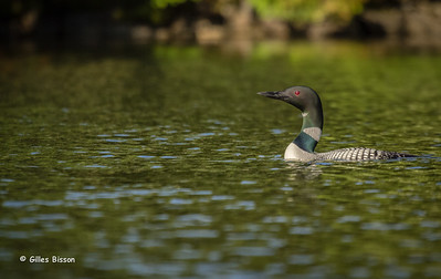 Loons-Grebes-Cormorants