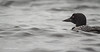 Common Loon, Whitewater lake, Azilda, Ontario, June 20 2013, Canon T3i 1/1600-F5.6-ISO 800, #0504