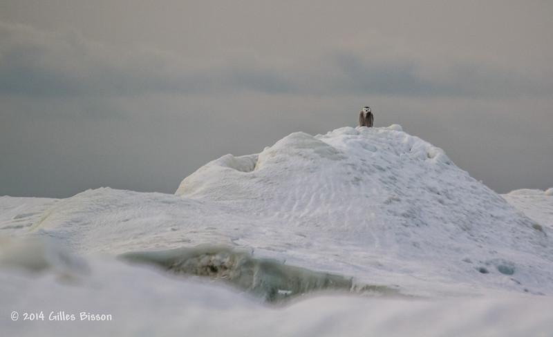 Snowy Owl, Presqu'ile Provincial Park, #8359 Feb 1 2014, Canon T3i 1/1000  F5.6 ISO400