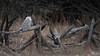 Snowy Owl, Prince Edward Point, Prince Edward County, January 13, 2020, Sony A7R4, 200-600mm,1/1500, F6.7, ISO 800, 2020, Sony A7R4, 200-600mm,1/1500, F6.7, ISO 800