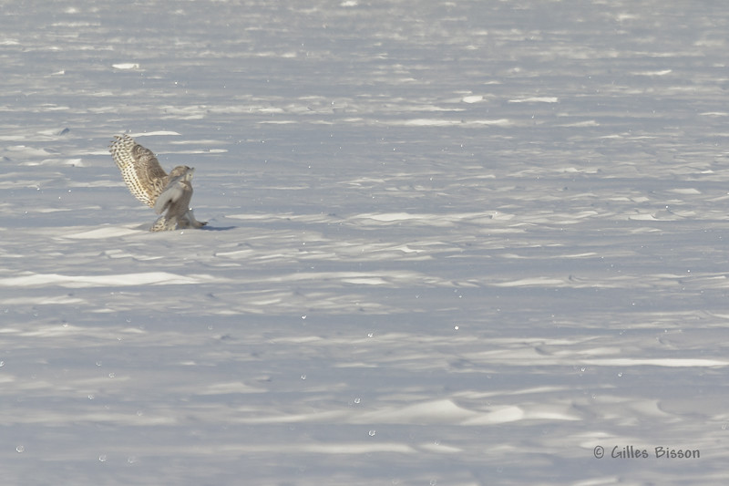 Snowy Owl, Presqu'ile Provincial Park, #8694 Feb 06 2014, Canon T3i 1/1000  F7.1 ISO200