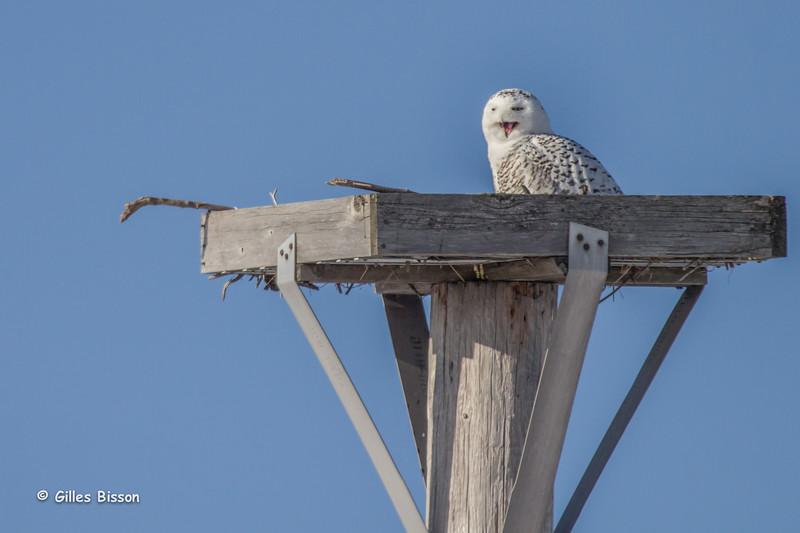 Snowy Owl, Amherst Island, January 21,2015, Canon T3i, 100-400mm, !/1600,F7.1,ISO100