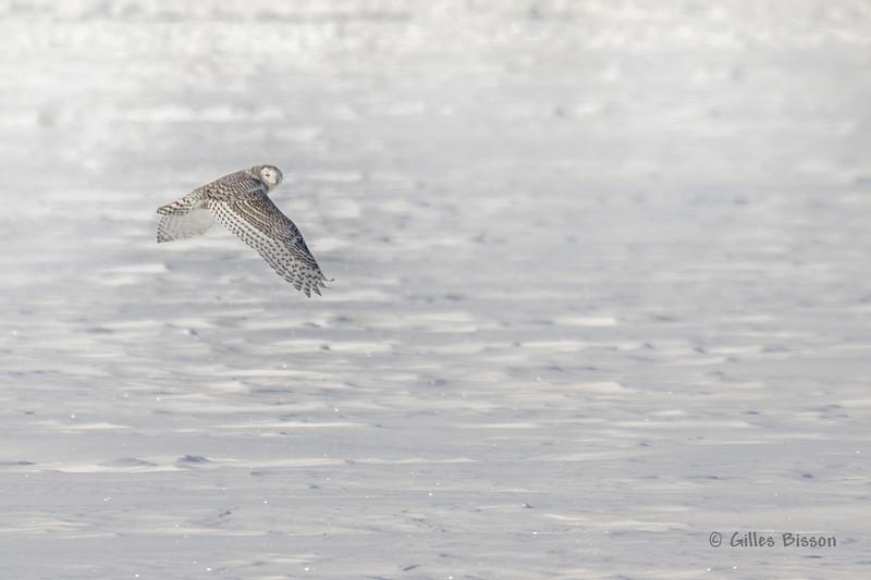 Snowy Owl, Presqu'ile Provincial Park, #8685 Feb 06 2014, Canon T3i 1/1000  F7.1 ISO200