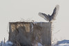 Snowy Owl, Presqu'ile Provincial Park, #8736 Feb 06 2014, Canon T3i 1/1000  F5.6 ISO100