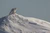 Snowy Owl, Presqu'ile Provincial Park, #8771 Feb 06 2014, Canon T3i 1/2000  F7.1 ISO100
