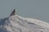 Snowy Owl, Presqu'ile Provincial Park, #8777 Feb 06 2014, Canon T3i 1/2000  F7.1 ISO100