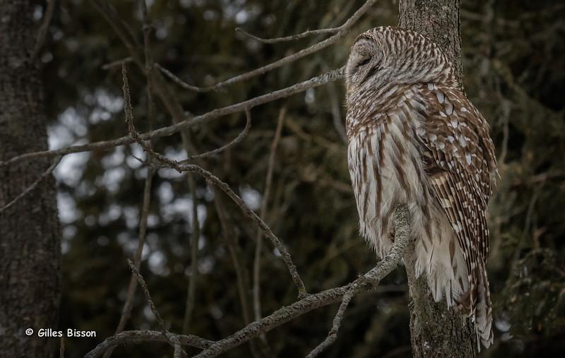 Barred Owl, March 3 2015, Presqu'ile Provincial Park, Canon 7D Mark II,1/1000,F8.0,ISO1000