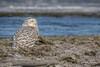 Snowy Owl, Owens Point, Presqu'ile Provincial Park, Dec 07 2014, Canon 6D, 100-400mm,1/1000,F8.0
