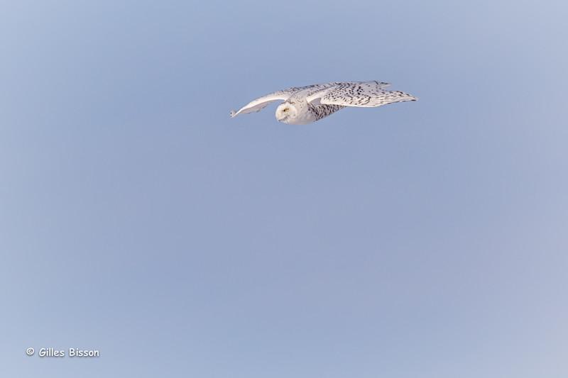 Snowy Owl, Amherst Island, January 21,2015, Canon T3i, 100-400mm, 1/1250,F8.0,ISO200