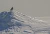 Snowy Owl, Presqu'ile Provincial Park, #8749 Feb 06 2014, Canon T3i 1/1000  F7.1 ISO100