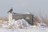 Snowy Owl, Presqu'ile Provincial Park, #8669 Feb 06 2014, Canon T3i 1/1000  F7.1 ISO200