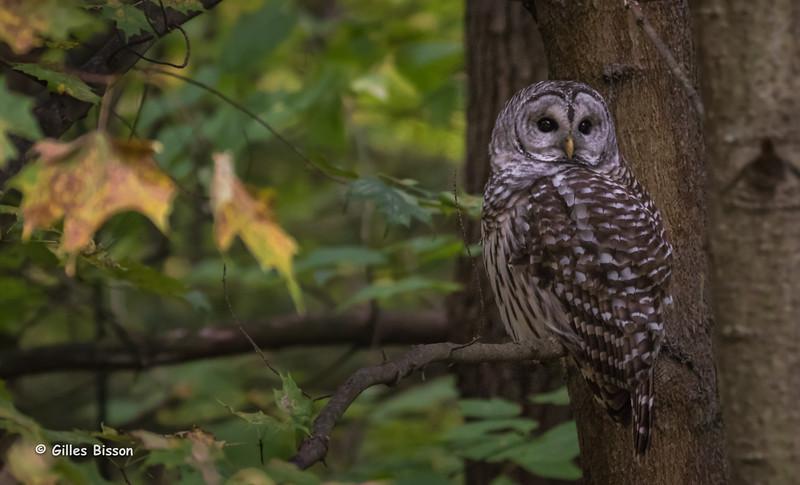 Barred Owl, Presqu'ile Provincial Park, October 06, 2015, Canon 7D Mark II, 1/200, F5.6, ISO 1000