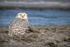 Snowy Owl, Owens Point, Presqu'ile Provincial Park, Dec 07 2014, Canon 6D, 100-400mm,1/1250,F7.1,ISO160