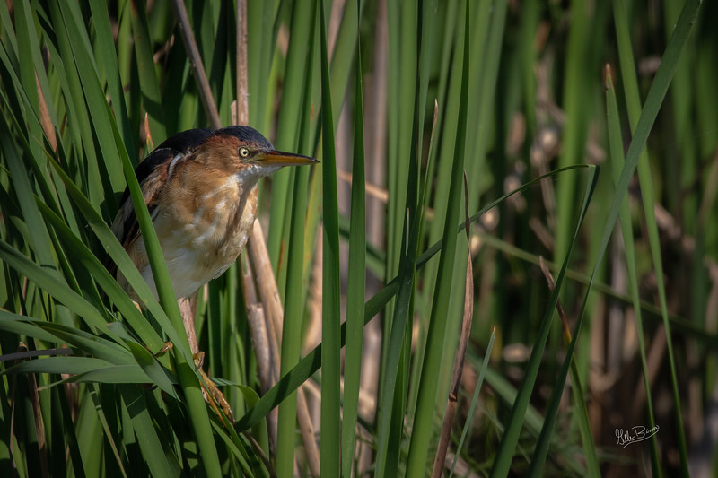 Least Bittern, Bay of Quinte, July 08, 2018, Canon 7D Mark II, 100-400mm, 1/1250, F9.0, ISO 250