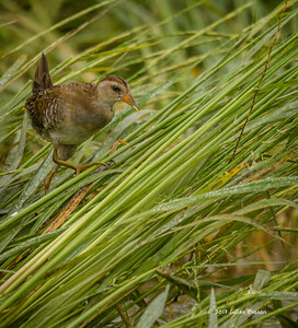Rails-Gallinules-Coot-Cranes