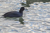 American Coot, January 15 2013, Cobourg Harbour