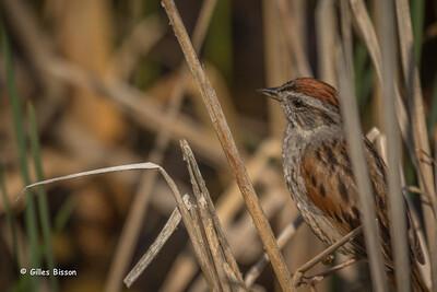 Sparrows-Juncos