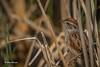 Swamp Sparrow, June 3 2014, Presqu'ile Provincial Park