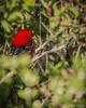 Scarlet Tanager, May 16, 2012, Presqu'ile Provincial Park