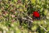 Scarlet Tanager, May 16 2012, Presqu'ile Provincial Park