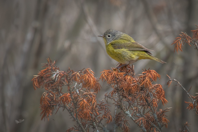 Nashville Warbler, Prince Edward Point, May 10, 2017, Canon 7D MarkII, 400mm, 1/1250, F7.1, ISO 400