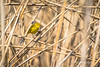 Yellow Warbler, Presqu'ile Provincial Park, May 15 2013,#8766