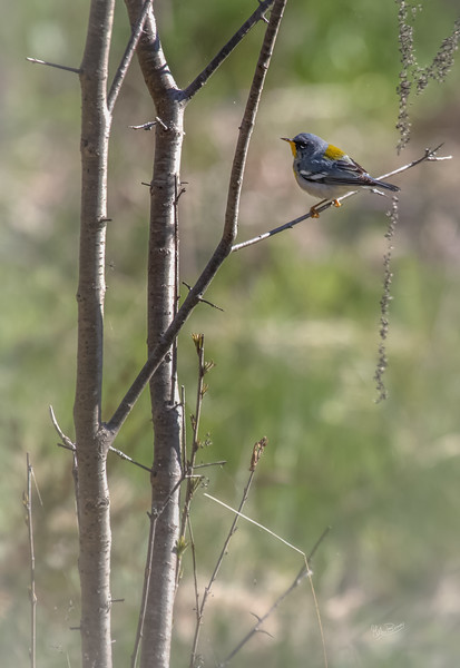 Northern Parula, May 08, 2018, Prince Edward Point, Canon 7D MarkII, 100-400mm, 1/1250, F7.1, ISO 400