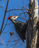 Pileated Woodpecker, Jan 14 2012, Presqu'iles Provincial Park