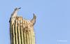 gila Woodpeckers, Tucson, Arizona, March 13 2014, Canon 6D 400mm 1/1000 F5.6  ISO400