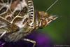 Close up Butterfly, August 24 2012, Belleville