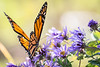Monarch Butterfly, Sept 26, Wellers Bay, Prince Edward county