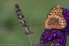 Butterfly,August 12 2012, Belleville