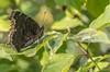 Mourning Cloak Butterfly, August 30 2012, Presqu'ile Provincial Park