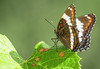 White Admiral Butterfly, June 26 2011, Belleville