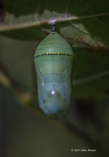 Monarch cocoon, Prince Edward Point, Sept 17 2013,#7397, Canon 6D- 100mm macro-1/640-F7.1.0-ISO250