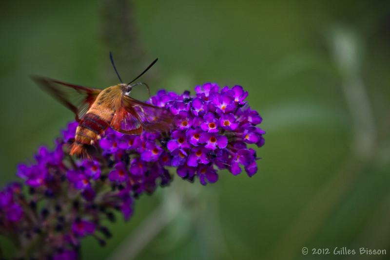 Clearwing Hummingbird Moth, July 27 2012, Belleville
