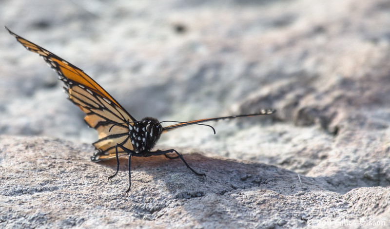 Monarch butterfly taking a break on the shores at Prince Edward Point, October 23 2011