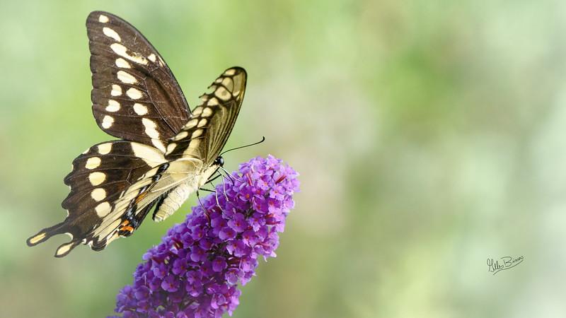 Giant Swallowtail, Aug 16, 2021, Belleville backyard, Sony A7RIV, 100-400mm, 1.4X, 1/1250, F8.0, ISO 640