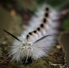 Hickory tussock Moth Caterpillar, Prince Edward Point, Sept 17 2013, #7422, Canon 6d-100mm macro- 1/100-f7.1-ISO1250-LR5